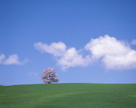 桜「Single Cherry Tree in Grassland」:スマホ壁紙(12)