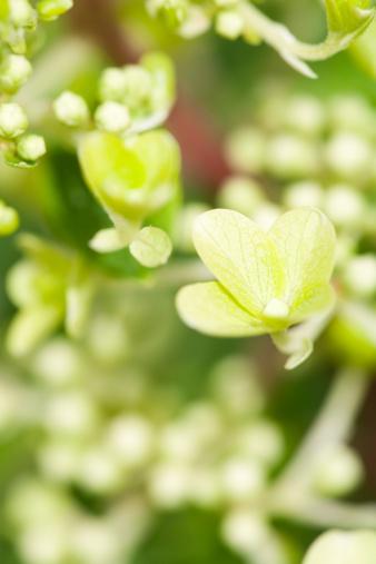 あじさい「クイック火災ハーディーアジザイ Paniculata」:スマホ壁紙(1)