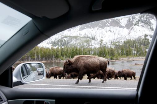 Walking「Bishon, Yellowstone National Park.」:スマホ壁紙(5)