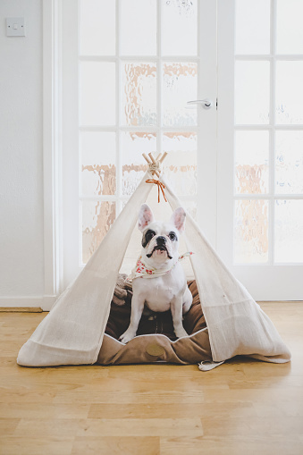 Tent「Pied French Bulldog puppy resting inside a handmade teepee tent」:スマホ壁紙(18)