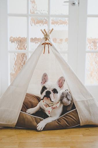 Tent「Pied French Bulldog puppy resting inside a handmade teepee tent」:スマホ壁紙(10)