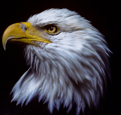 Beak「Majestic Bald Eagle」:スマホ壁紙(18)