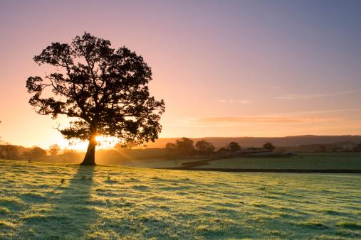 Single Tree「Sunlight bursting through oak tree at dawn」:スマホ壁紙(5)