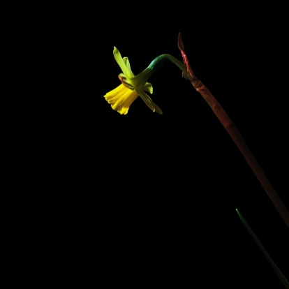 Daffodil「USA, Single Daffodil against dark black background」:スマホ壁紙(18)