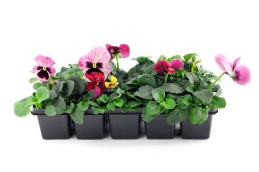 Planting「seedling of pink pansy Flower pot on isolated white background」:スマホ壁紙(3)
