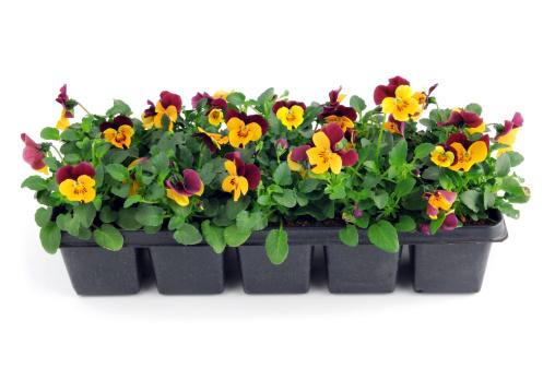 Flower Pot「seedling of purple orange pansy viola flower in pot」:スマホ壁紙(14)