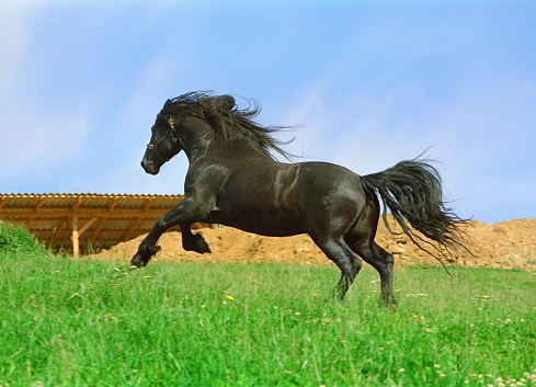 一匹「galloping ブラックのホース-friesian スタリオン」:スマホ壁紙(9)