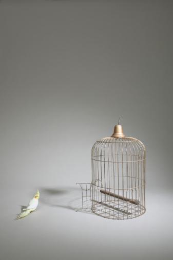 Uncertainty「Cockatiel (Nymphicus hollandicus) standing beside  cage with door open」:スマホ壁紙(5)