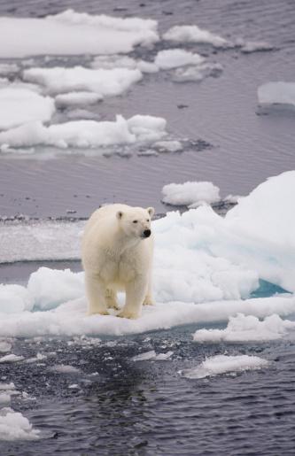 Polar Bear「Bear on small ice floe」:スマホ壁紙(18)