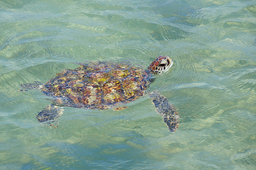 Green Turtle「Green Turtle (Chelonia mydas).」:スマホ壁紙(6)
