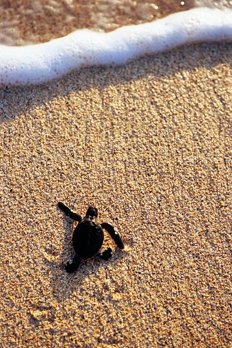 Green Turtle「Green Turtle Hatchling Headed for Surf」:スマホ壁紙(10)