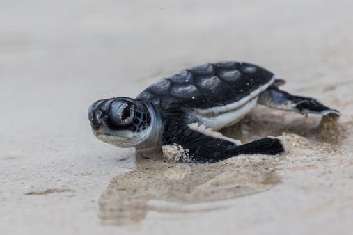 Green Turtle「Green Turtle hatchling heading for the ocean」:スマホ壁紙(1)