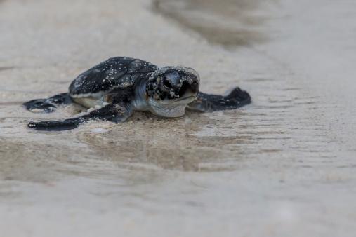 Green Turtle「Green Turtle hatchling heading for the ocean」:スマホ壁紙(14)