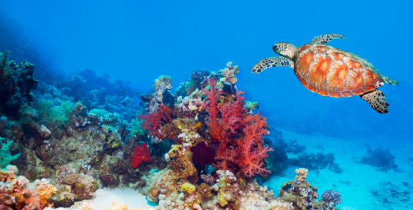 Green Turtle「Green turtle (Chelonia mydas) swimming over coral reef」:スマホ壁紙(8)