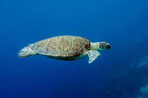 Green Turtle「A Green Turtle swimming in blue water」:スマホ壁紙(3)