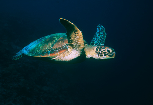 Green Turtle「Green turtle (Chelonia mydas) swimming, side view」:スマホ壁紙(11)
