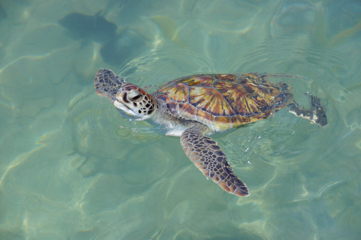 Green Turtle「Green turtle (Chelonia mydas) at the water surface」:スマホ壁紙(5)