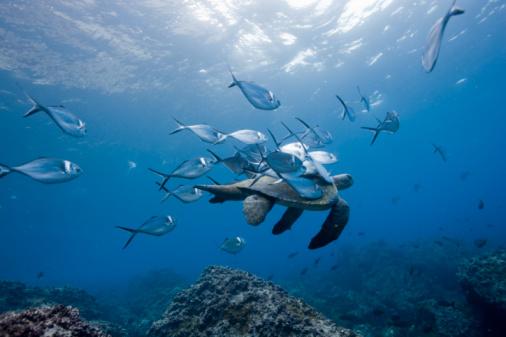 Ecosystem「Green turtle (Chelonia mydas) swimming amongst Steel pompano (Trachinotus stilbe) fish, underwater」:スマホ壁紙(3)