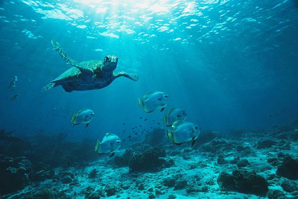 Green Turtle and Longfin batfish swimming over reef, underwater view:スマホ壁紙(壁紙.com)