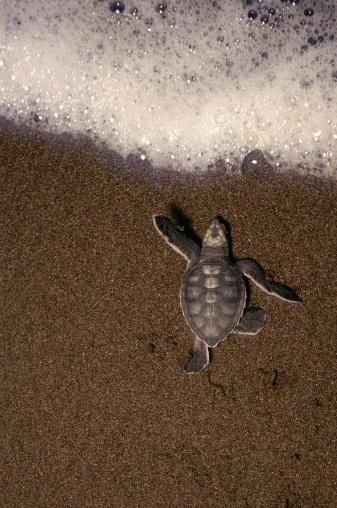 Green Turtle「Green turtle (Chelonia mydas) hatchling, Costa Rica」:スマホ壁紙(11)