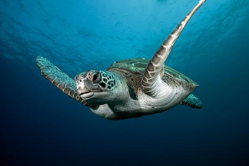 Green Turtle「A green turtle swimming in open water」:スマホ壁紙(6)