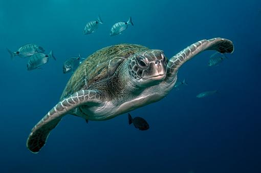 Green Turtle「A green turtle swimming in open water」:スマホ壁紙(18)