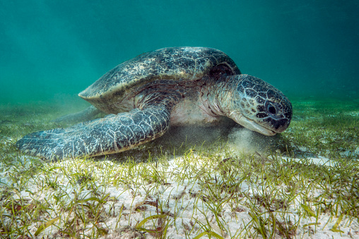 Green Turtle「A green turtle feeding on sea grass」:スマホ壁紙(12)