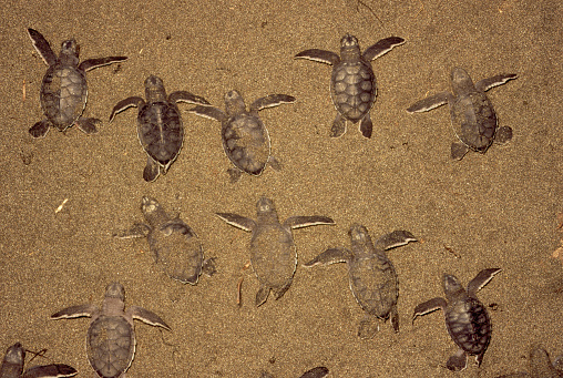 Green Turtle「Green Turtle Babies in the Sand」:スマホ壁紙(15)