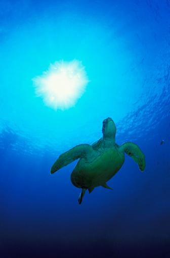 Green Turtle「Green turtle」:スマホ壁紙(13)