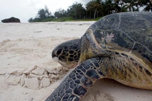 Green Turtle「Green turtle on the sandy beach」:スマホ壁紙(11)