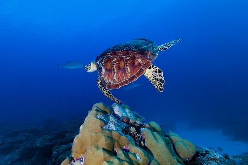 Green Turtle「Green Turtle Chelonia midas Swimming over Hard Coral Reef, Palau, Micronesia」:スマホ壁紙(5)