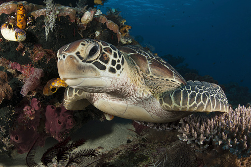 Green Turtle「A green turtle resting on a reef top in Komodo National Park, Indonesia.」:スマホ壁紙(8)