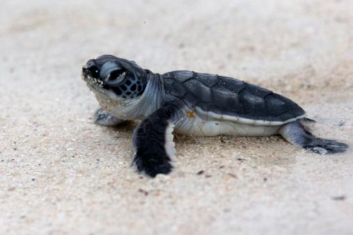 Green Turtle「Green turtle hatching trots towards the ocean.」:スマホ壁紙(12)