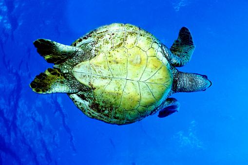 Green Turtle「Green turtle viewed from below」:スマホ壁紙(11)