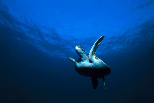 Green Turtle「Green Turtle Swimming in Ocean」:スマホ壁紙(17)