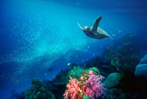 Green Turtle「Green turtle (Chelonia mydas), underwater view」:スマホ壁紙(1)