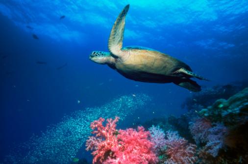 Green Turtle「Green turtle (Chelonia mydas), underwater view」:スマホ壁紙(0)