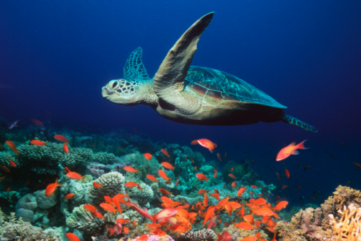 Green Turtle「Green turtle (Chelonia mydas), underwater view, (digital composite)」:スマホ壁紙(2)