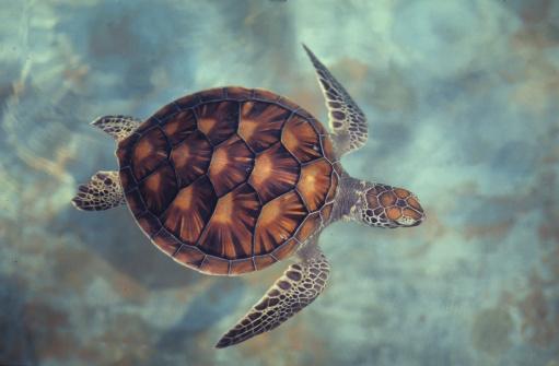 Green Turtle「green turtle,chelonia mydas, java, indonesia, indian ocean」:スマホ壁紙(7)