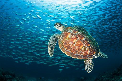Green Turtle「Green turtle with fish school」:スマホ壁紙(4)