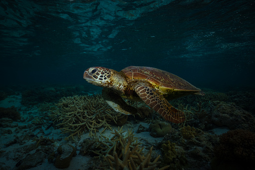 Green Turtle「Green turtle, Great Barrier Reef Marine Park」:スマホ壁紙(17)