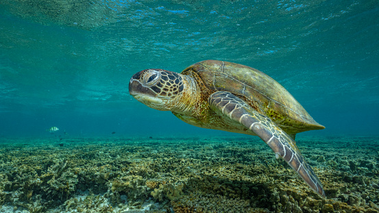 Green Turtle「Green turtle, Great Barrier Reef Marine Park」:スマホ壁紙(2)