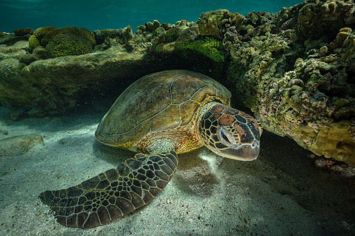 Green Turtle「Green turtle, Great Barrier Reef Marine Park」:スマホ壁紙(15)