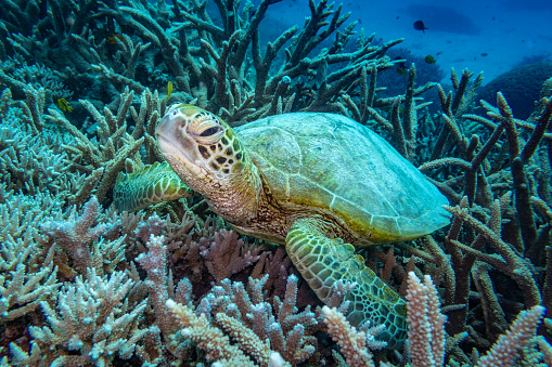 Green Turtle「Green turtle, Great Barrier Reef Marine Park」:スマホ壁紙(1)