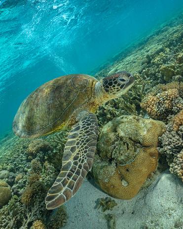 Green Turtle「Green turtle, Great Barrier Reef Marine Park」:スマホ壁紙(1)