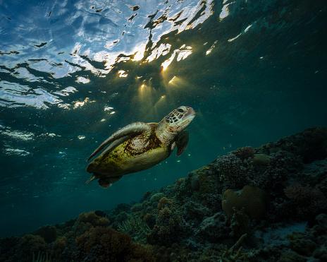 Green Turtle「Green turtle, Great Barrier Reef Marine Park」:スマホ壁紙(4)