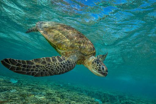 Green Turtle「Green turtle, Great Barrier Reef Marine Park」:スマホ壁紙(2)