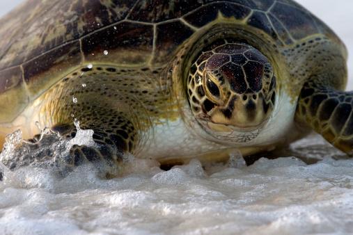 Green Turtle「Green turtle entering the ocean」:スマホ壁紙(17)