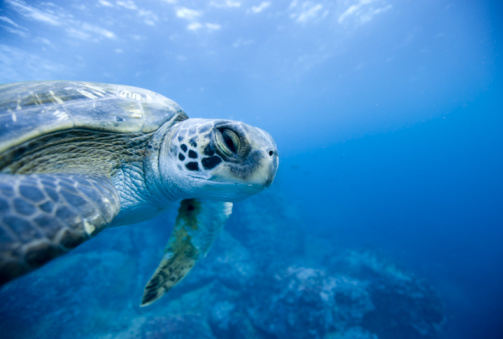 Green Turtle「Green turtle (Chelonia mydas) swimming underwater」:スマホ壁紙(10)