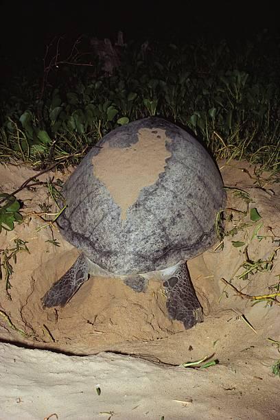 Green turtle building nest:スマホ壁紙(壁紙.com)